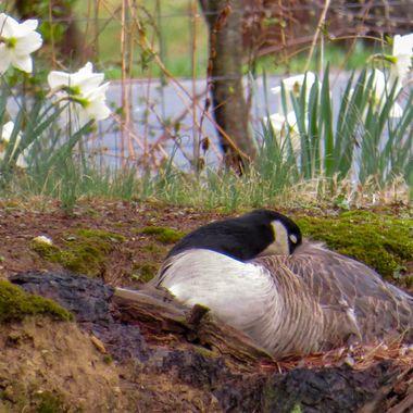 Spring, 2015 - Female Canada Goose - IMG_0166-2