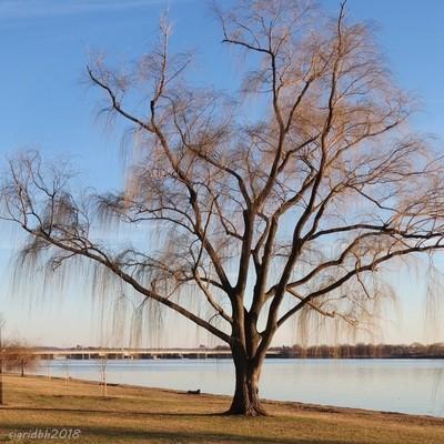 Budding willow