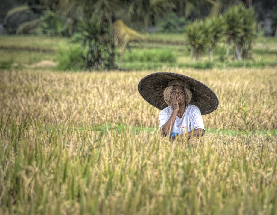 A little rest in the rice field, Bali