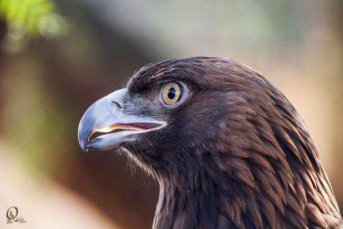 """Sullivan""  by PeriHoke_slrchick - Majestic Eagles Photo Contest"