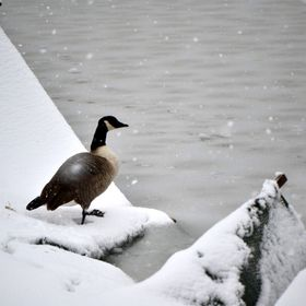 A lonely goose with a birth deformation called 'Angel Wing' left by his family over winter to find food and shelter alone.