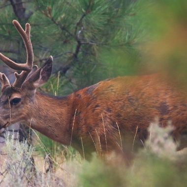 A mule deer buck in the summer.