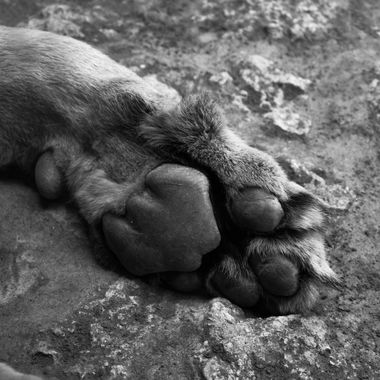 a lions paw close up in black and white