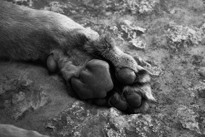 lion paw in black and white