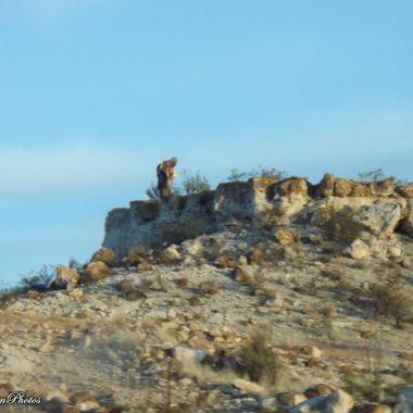 San Carlos Saguaro cactus