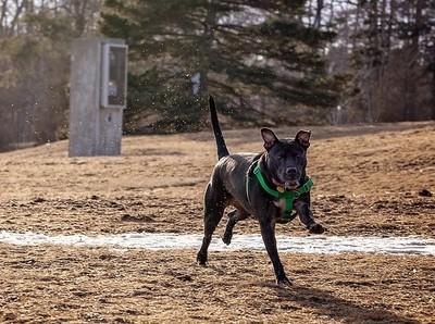 Miss Molly, rescued pitbull enjoying an offleash run!