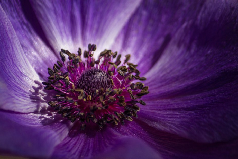 Anemone flower bloom