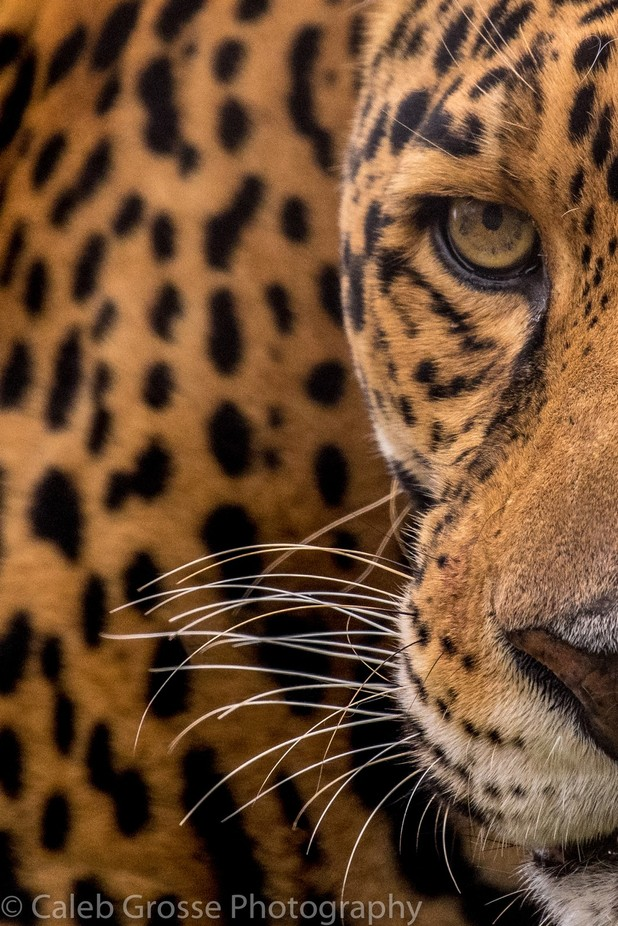 Eye of the Jaguar  by calebgrosse - Rule Of Thirds Photo Contest v4