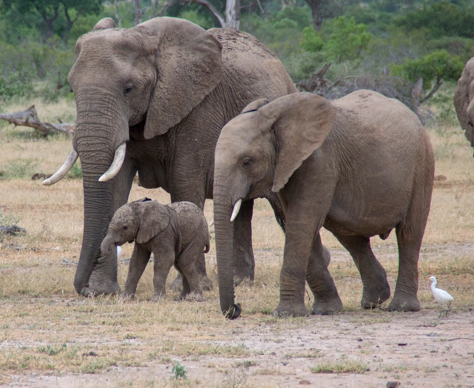 Baby elephant with mom and another family member