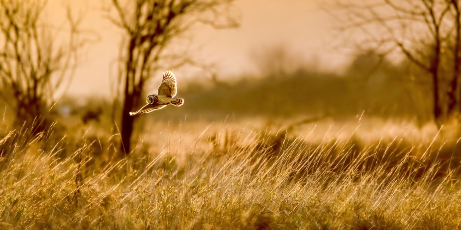 Hoo Loves a Sunset?! One of my favorite shots of a short-eared owl. No, not super detailed or a p...
