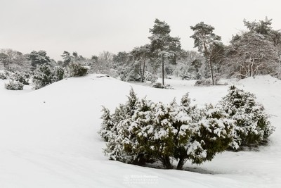 Juniper Thickets Snow