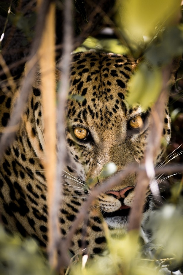 Leopard in Moremi by andytaylor756 - Celebrating Nature Photo Contest Vol 4