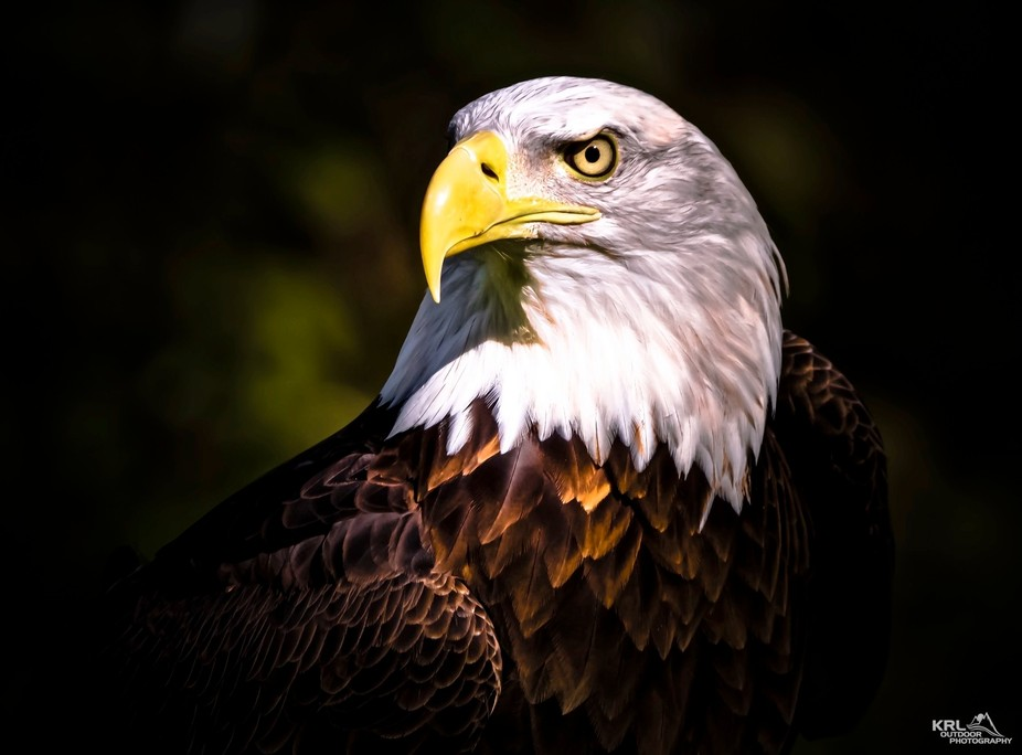 Michigan Bald Eagle Profile