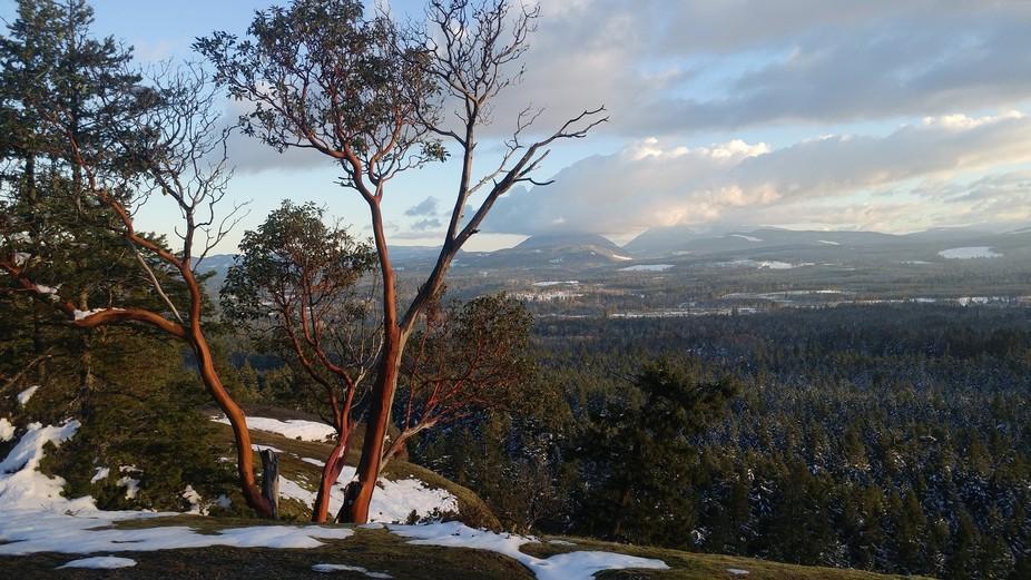 Arbutus Tree on our Amazing Little Mountain - 20 Feb 2018