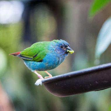Parrot Finch BLoedel1