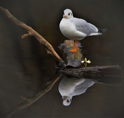 reflection of a seagull