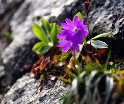 alpine flower