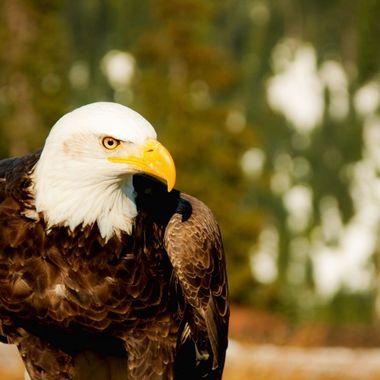 Eagle Alert