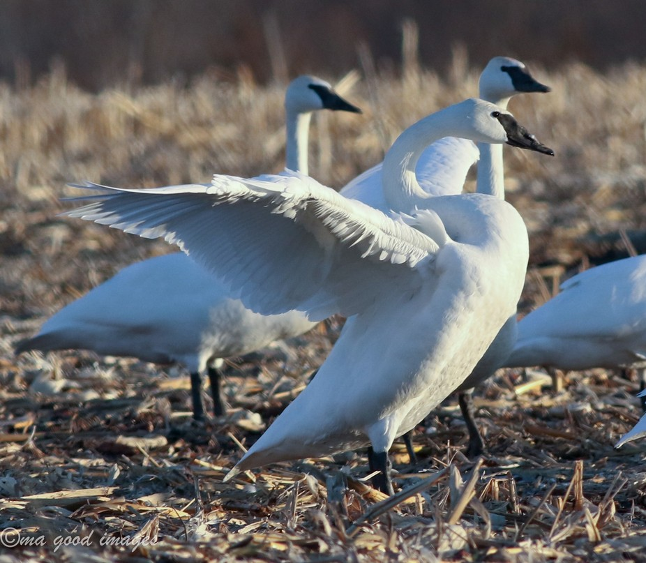 Swans have such a beautiful way of showing off their lovely build. Not sure what this behavior me...