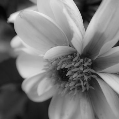 Floral Macro BW