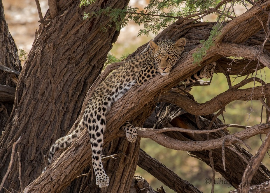 This gorgeous leopard lying in the tree is by far one of the best wildlife sightings I have ever ...