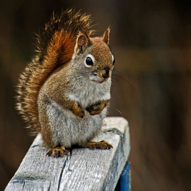A red squirrel standing on a wooden railing, staring into the camera.