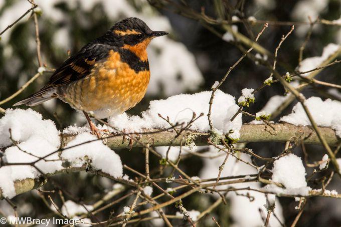 Meadowlark in snow
