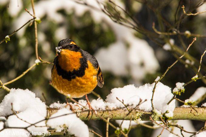 Beak full of snow