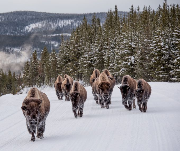 Bison Right of Way by DonnieM - Animals In The Winter Photo Contest