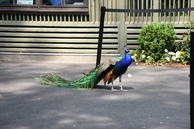 Peacock..