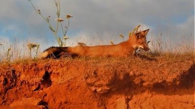 Laying fox