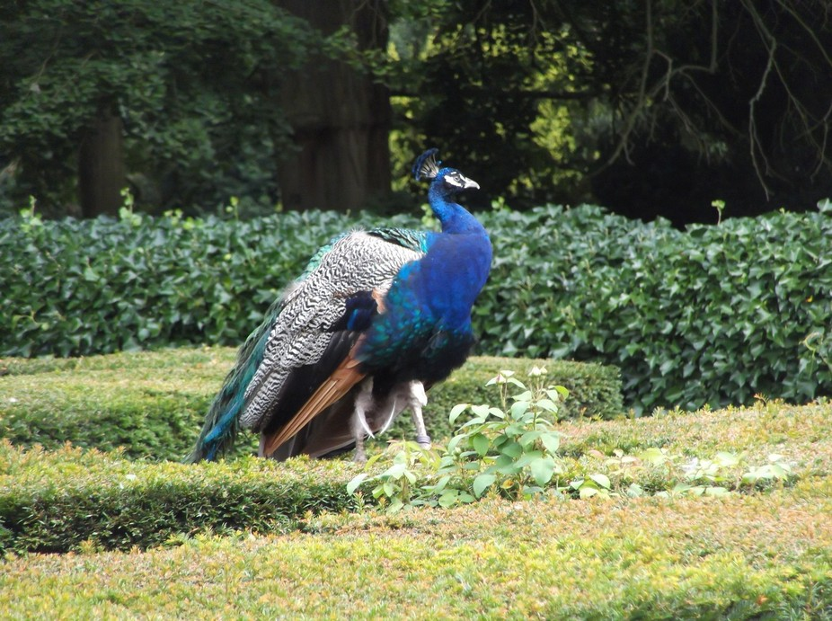 Taken in the Peacock Garden at Warwick Castle.
