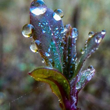 Honysuckle Droplets