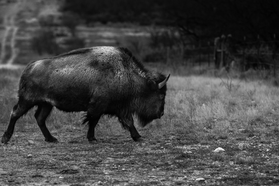There is a herd of Bison near my home in San Angelo Texas, I love to spend time there photographi...