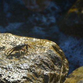 This crab is fascinated by the sea water splashing on the rocks.