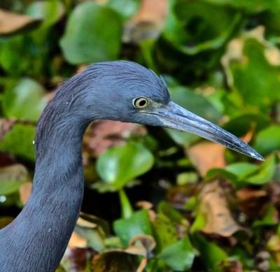 Little Blue Heron Profile