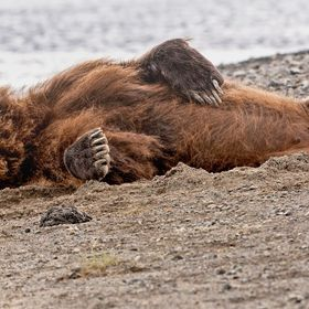 Grizzly Napping on Beach, Katmai NP, AK