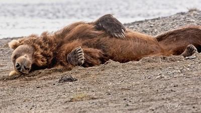 Grizzly Napping on Beach, Katmai NP, AK