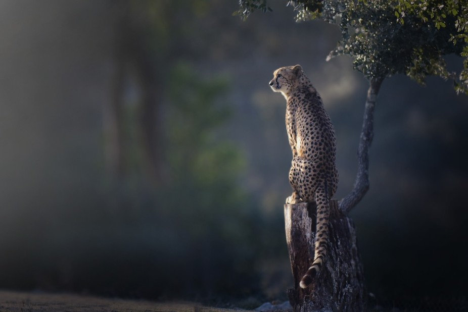 Perched cheetah