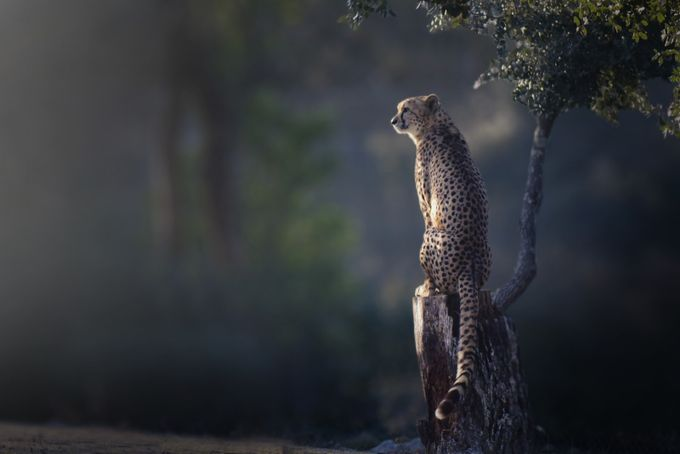 Perched cheetah by SevMimosArt - Creative Reality Photo Contest