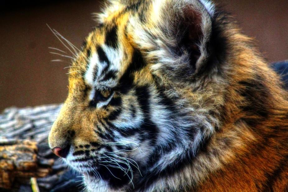 A baby Bengal tiger