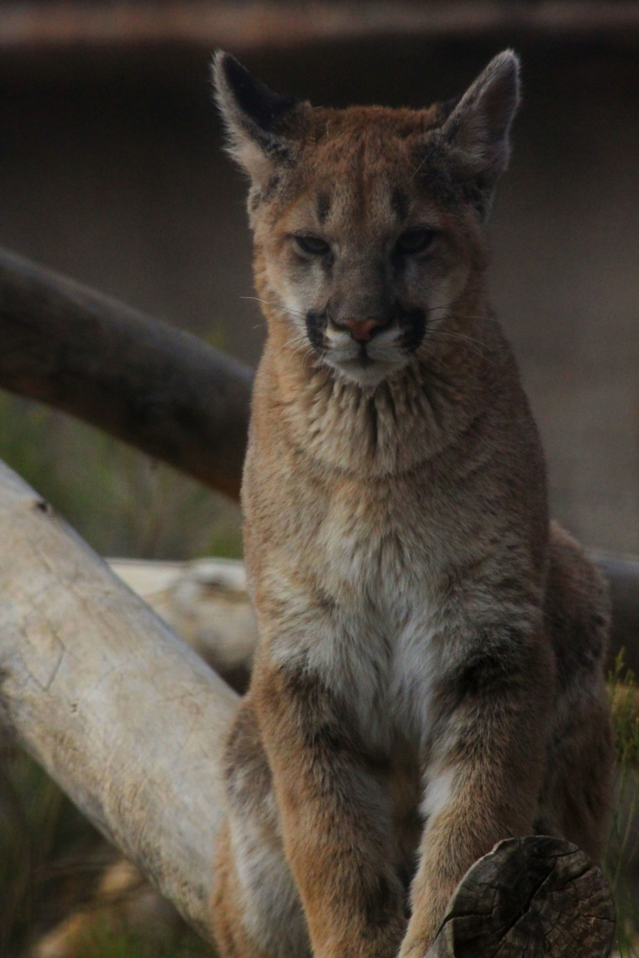 Here is a young Puma or as some call it mountain lion or cougar. Depends on where on is from.