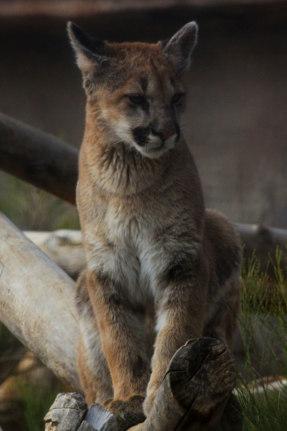 Capturing young animals is a treat especially wild young animals like this Puma