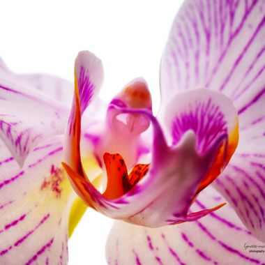 Orchid with  Purple Veins