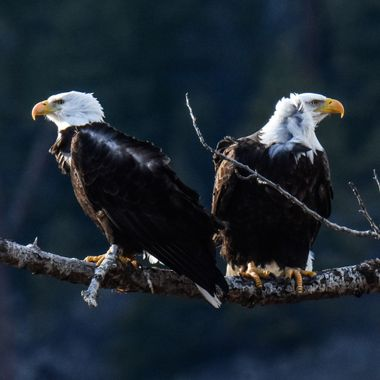 A Pair of Bald Eagles in a wind storm. they had a nest in that tree.