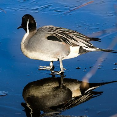 A pintail duck at the bird sanctuary