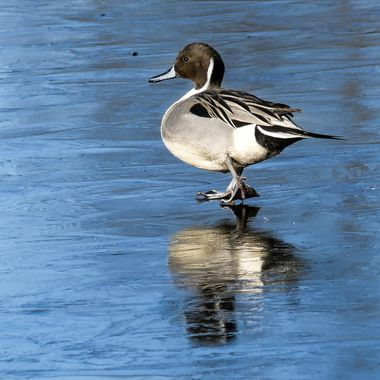 This Pintail is in the Bird Sanctuary