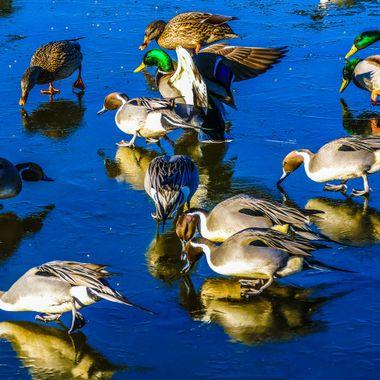 Ducke in the sanctuary feeding on grain thrown on the ice.
