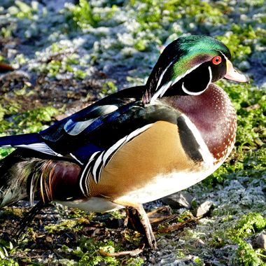 A wood duck in the bird sanctuary