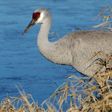 A Sand Hill Crane at the bird sanctuary.